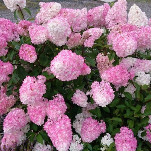 hydrangea paniculata 39 vanille fraise 39 scot plants direct. Black Bedroom Furniture Sets. Home Design Ideas