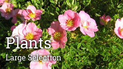ScotPlantsDirect offer a wide range of plants for your gardening needs, evergreen plants, rhododendrons, azealeas, camellias and much more!!