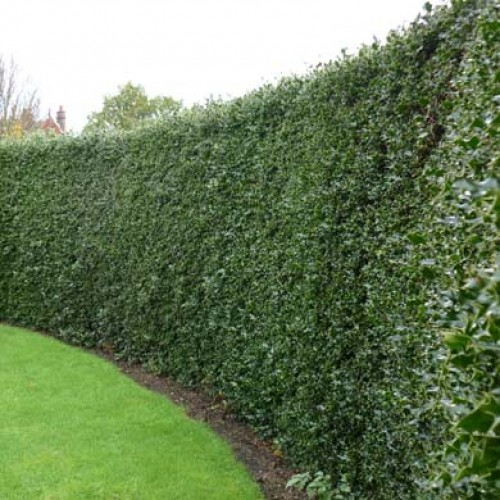 English Holly Hedge