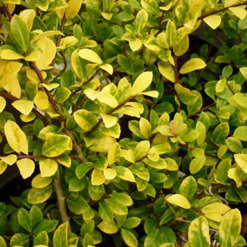Ilex Crenata Holly Golden Gem Scotplants Direct