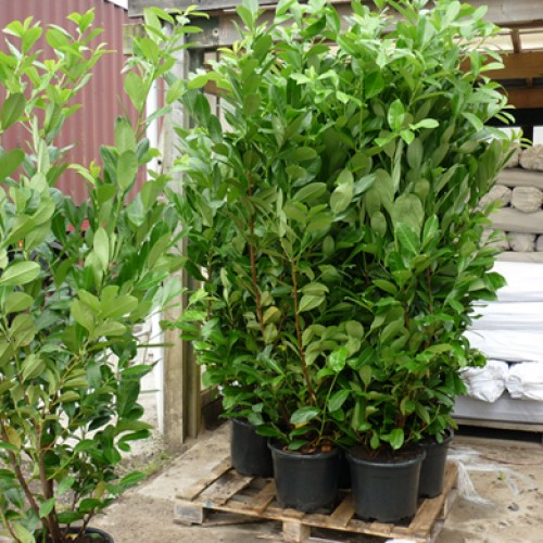 common laurel hedge prunus rotundifolia 5 6ft scotplants direct. Black Bedroom Furniture Sets. Home Design Ideas
