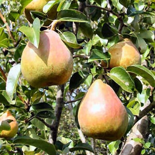 Pear Tree Doyenne du Comice