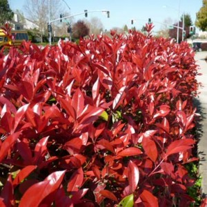 Photinia Red Robin Hedging