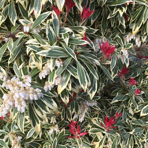 Pieris japonica - Flaming Silver Evergreen