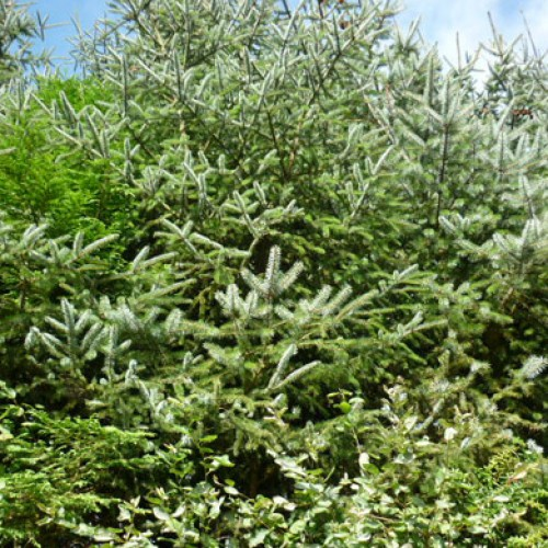 Picea sitchensis - SITKA SPRUCE | ScotPlants Direct