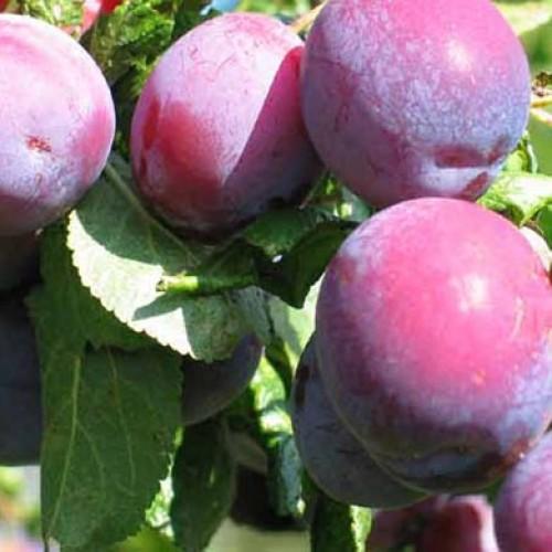 victoria cooking dessert plum fruit trees scotplants. Black Bedroom Furniture Sets. Home Design Ideas
