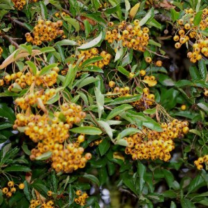 Yellow Pyracantha hedge Plants