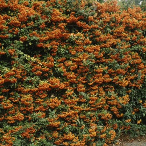 Pyracantha Red Column Firethorn