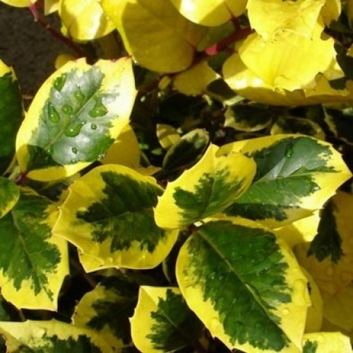 Golden Holly Ilex x altaclerensis King | ScotPlants Direct