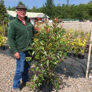 Photinia Red Robin Plant