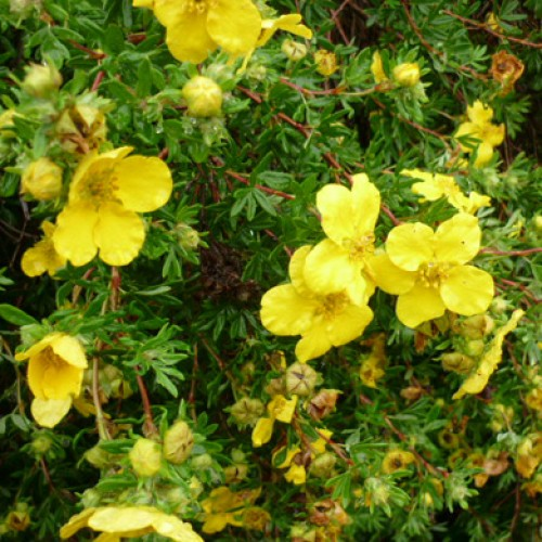 Potentilla Red Ace