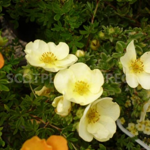 Potentilla Primrose Beauty