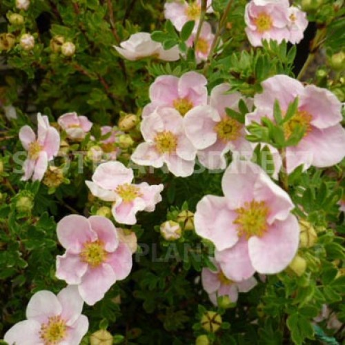 Potentilla Princess Pink