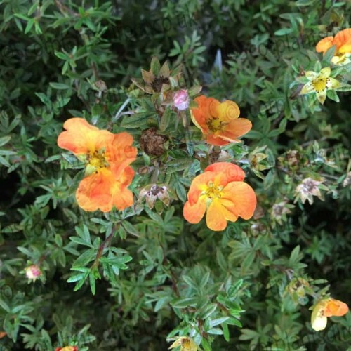 Potentilla Grace Darling Pink