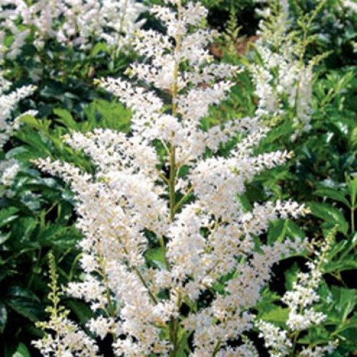 Astilbe Jump and Jive | ScotPlants Direct