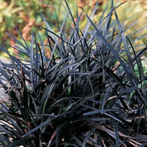 Black grass ophiopogon niger lilyturf for Dark ornamental grasses