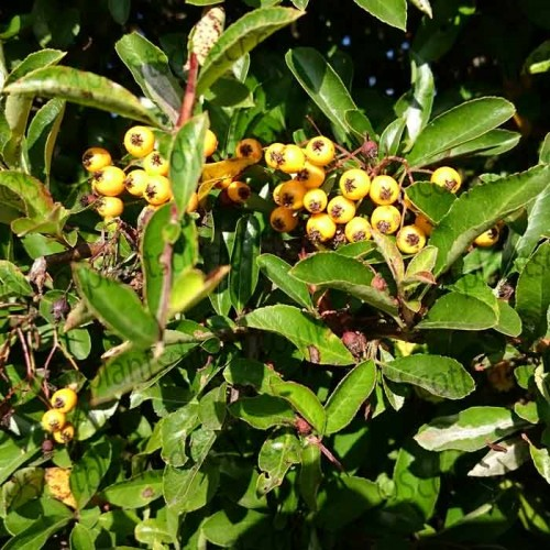 Pyracantha Yellow Berry Soleil d'Or