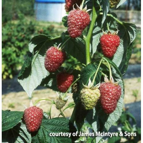 Raspberry Cane Octavia | ScotPlants Direct