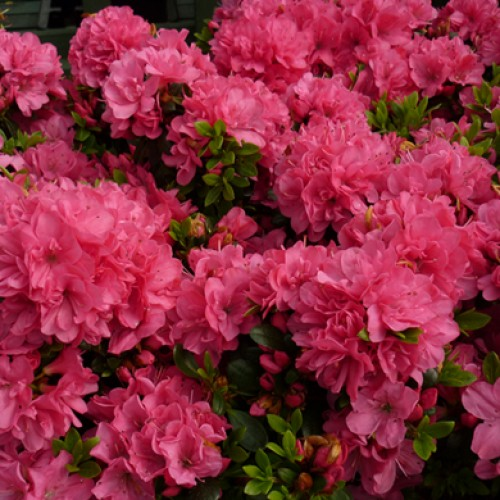 Azalea Anne Frank Dwarf Japanese | ScotPlants Direct