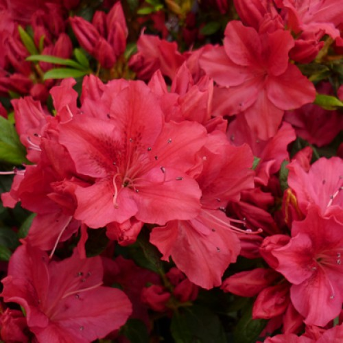 Azalea Racoon | ScotPlants Direct