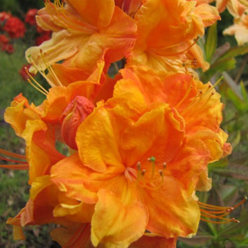 Azalea Fireball  Exbury | ScotPlants Direct
