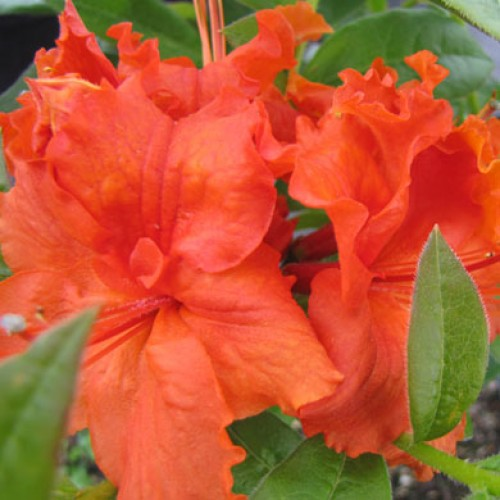 Azalea Golden Eagle  Exbury | ScotPlants Direct
