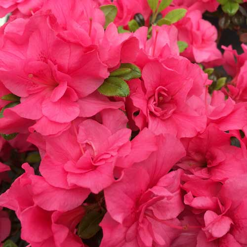 Azalea Melina Evergreen | ScotPlants Direct