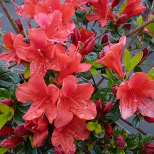 Azalea Squirrel | ScotPlants Direct