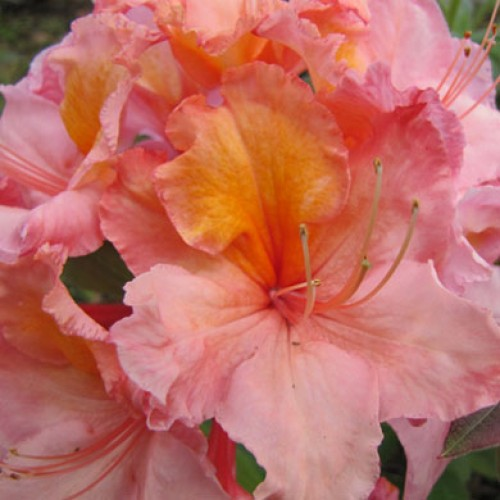 Azalea Johanna | ScotPlants Direct