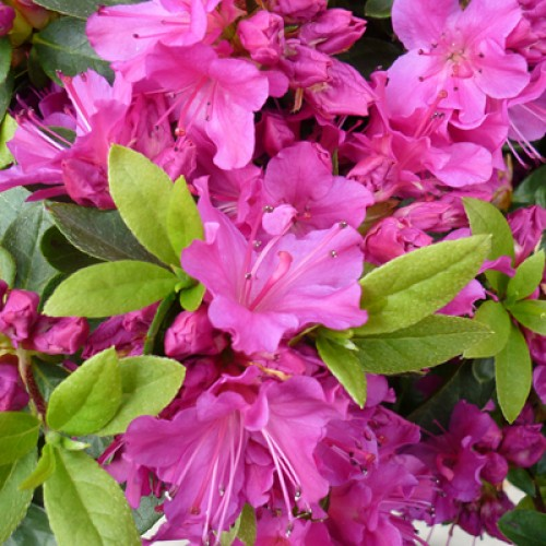 Azalea Geisha Purple Japanese | ScotPlants Direct