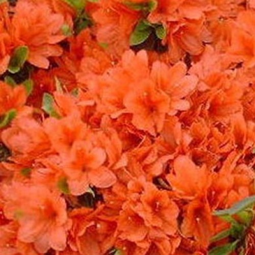 Azalea Homebush  Exbury | ScotPlants Direct
