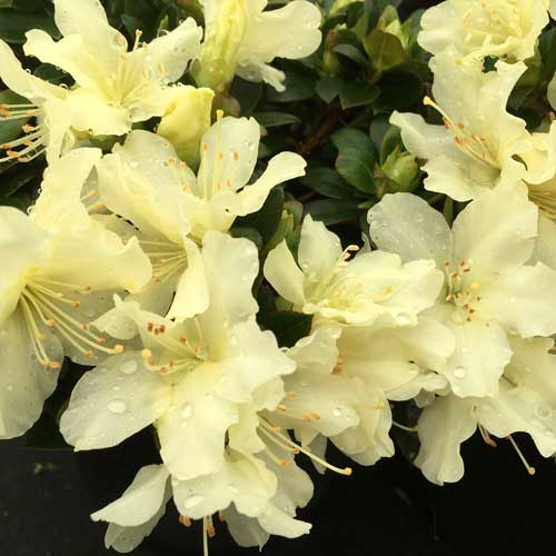 rhododendron golden torch scotplants direct. Black Bedroom Furniture Sets. Home Design Ideas
