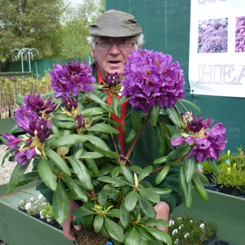 Rhododendron Marcel Menard | ScotPlants Direct