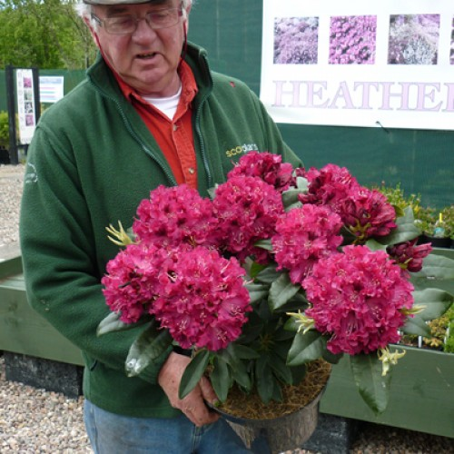 Rhododendron Red Marie Fortie | ScotPlants Direct