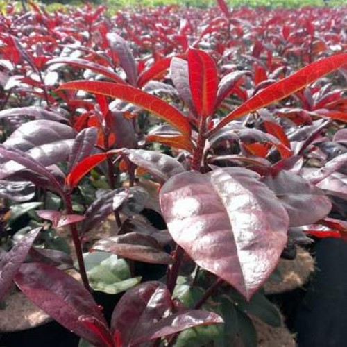 Rhododendron Mosers Maroon | ScotPlants Direct