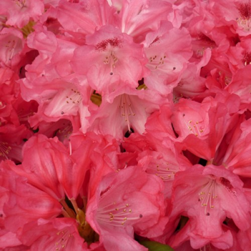 Rhododendron Vulcan
