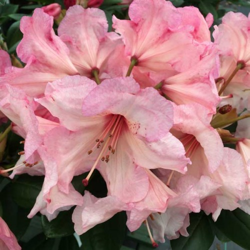 Rhododendron Virginia Richards