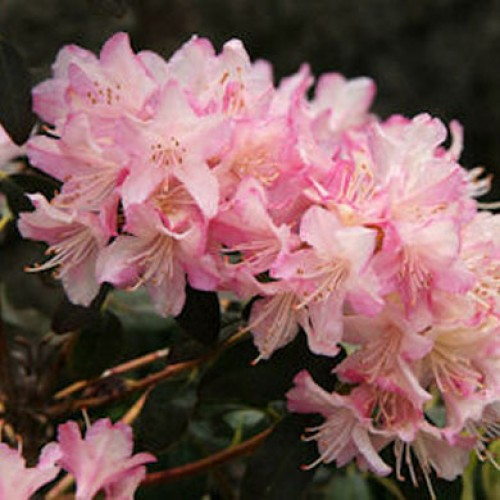 Rhododendron Chionodes | ScotPlants Direct