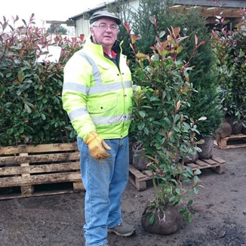 Photinia Red Robin Rootball