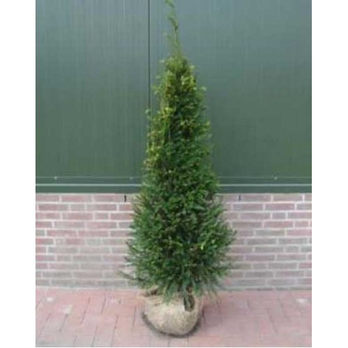 Yew Hedging Tree Plants
