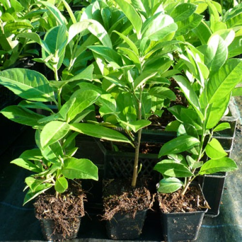 Common Laurel Plants