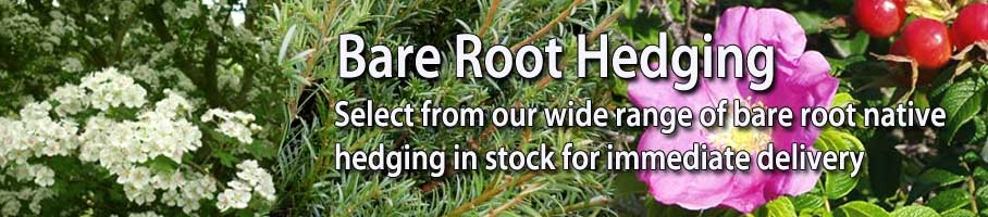 High Quality Bare Root Hedging in Stock - Immediate Delivery