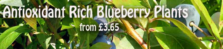 Blueberry Plants and Bushes Ready Now