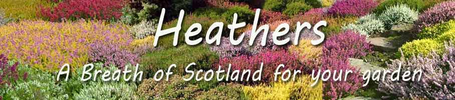 Fantastic Selection of Scottish Grown Heathers