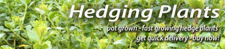 Great Deals on Pot Grown Hedging Plants - Immediate Delivery