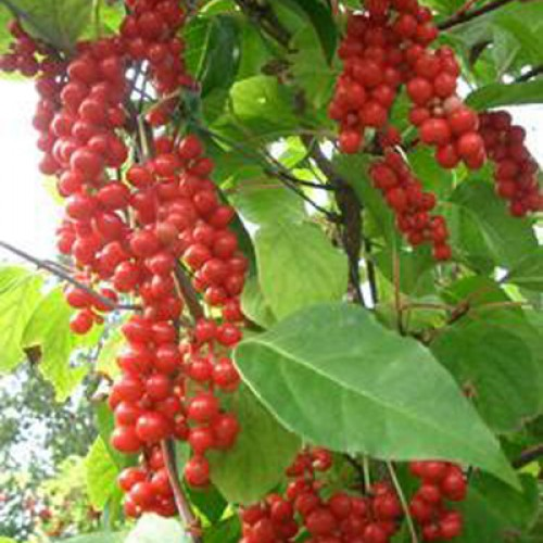 Schisandra chinensis | ScotPlants Direct