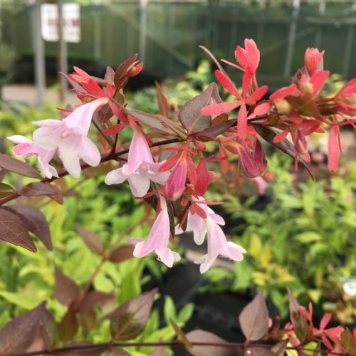 Abelia x Grandiflora | ScotPlants Direct