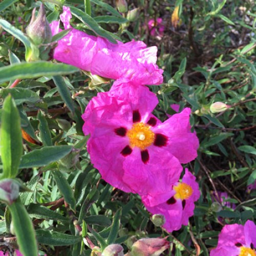 Cistus x purpureus Rock Rose