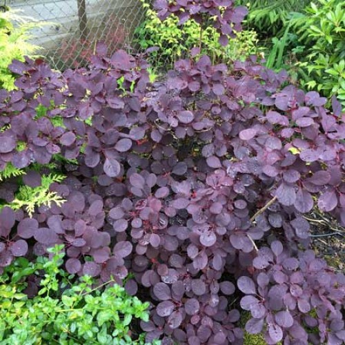 Cotinus Royal Purple | ScotPlants Direct