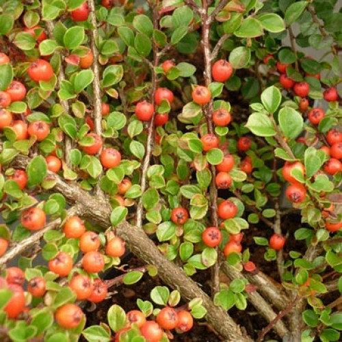 Cotoneaster Franchetii Plants